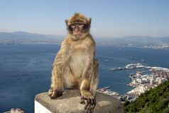 Monkey at Gibraltar Stock Photography
