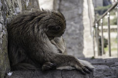 Monkey in Gibraltar. Barbary macaque sleeping in stairs on the Rock in Gibraltar Royalty Free Stock Image