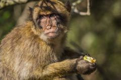 Gibraltar monkey. Monkey of Gibraltar eating apple royalty free stock image