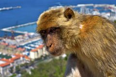 Monkey in Gibraltar. Stock Images