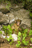 Monkey in Gibraltar poking tongue out Stock Photography