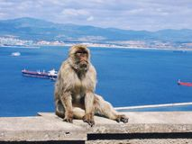 Monkey in Gibraltar. Sitting Barbary macaque in Gibraltar Stock Image