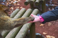 Monkey and Girl Shaking hands. Barbery Macaque monkey shaking hands with a girl Stock Photos