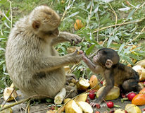 Monkey giving food to baby Stock Image