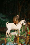 Monkey and goat acrobats of circus. Monkey and goat  of circus in a zoo Royalty Free Stock Images
