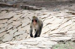 Monkey goes for walk. On the stones Stock Image