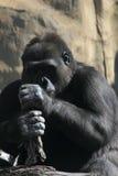 Monkey. Gorilla. A big gorilla sitting on the rock. Sunny day Stock Photos