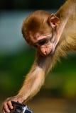 Monkey grabbing camera Royalty Free Stock Image