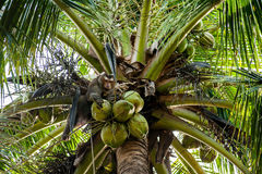 Monkey grabbing coconut on the tree Stock Images