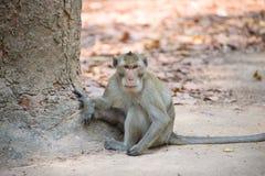 Monkey (Granchio-mangiando macaco) in Tailandia fotografie stock libere da diritti