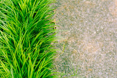 Monkey Grass stock photos