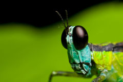 Monkey grasshopper Royalty Free Stock Image
