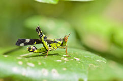 Monkey-Grasshopper Royalty Free Stock Image