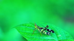 Monkey Grasshopper insect sitting on a green leaf. Moving its head and body stock footage