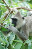 Monkey (Gray langur) eating a fruit Royalty Free Stock Photos