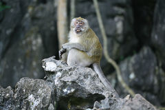Monkey on a gray rock. Among rocks Royalty Free Stock Photography