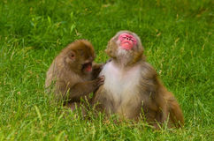 Monkey Grooming Stock Photos