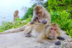 Monkey grooming Royalty Free Stock Image