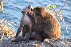 Monkey grooming her baby on a cliff above a sea. royalty free stock images