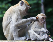 Monkey grooming its child in Thailand Stock Photography