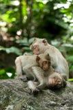 Monkey grooming and sleep Stock Images