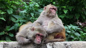 Monkey grooning in Nepal stock video footage