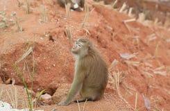 Monkey on the ground at Phuket thailand. Monkey on the ground at  thailand Stock Photo