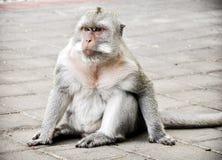 Monkey on ground. Monkey sitting on the ground relaxing Stock Photo
