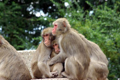 Monkey group. Sitting together and holding each other Royalty Free Stock Photo