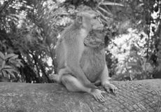 Monkey with grown baby. In grey. Photo made in Monkey Forest, Ubud, Bali, Indonesia Royalty Free Stock Image