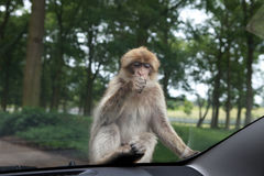 The monkey with gum on the car. Stock Photos