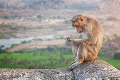 Monkey in Hampi Stock Image
