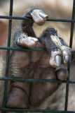 Monkey Hand. I wanted to represent the concept of freedom through a monkey's hand protruding from the mesh of a cage Royalty Free Stock Photography