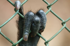 Monkey hand behind grille Royalty Free Stock Images