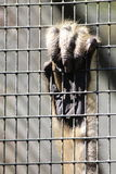 Monkey Hand Gripping Cage Bars Royalty Free Stock Image