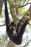 Monkey hanging on a tree Royalty Free Stock Image