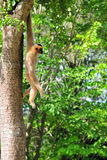 Monkey Hanging From a Tree Royalty Free Stock Photo