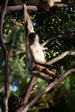 Monkey hanging in a tree Stock Images