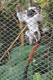 Monkey hanging from the zoo bar. White monkey hanging from the zoo bar Stock Photography