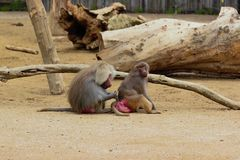Monkey having fun in zoo in augsburg in germany stock photos