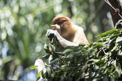 Monkey having his meal. Monkey sitting on the tree having his meal looking at something Royalty Free Stock Image