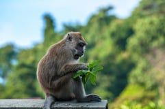 Monkey having lunch Royalty Free Stock Photo