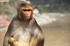 A monkey having serious thoughts Stock Images