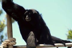 Monkey. Hawaiien monkey outdoor Royalty Free Stock Photo
