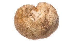 Monkey Head Mushroom Isolated Royalty Free Stock Photo
