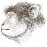 Monkey head Stock Image