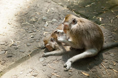 Monkey helps to get rid of fleas to another. Sacred monkey forest Royalty Free Stock Images