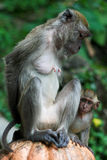 Monkey and her baby. A macaque and her cute baby at Batu Caves, near Kuala Lumpur. The monkeys were wondering free on the stairs in front of the hindu temple stock photo