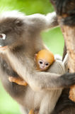 Monkey and her baby Stock Photos