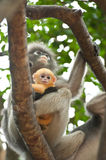 Monkey and her baby Royalty Free Stock Photo